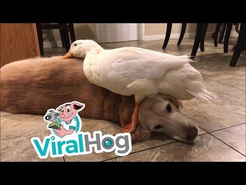 Antis guli ant šuns
