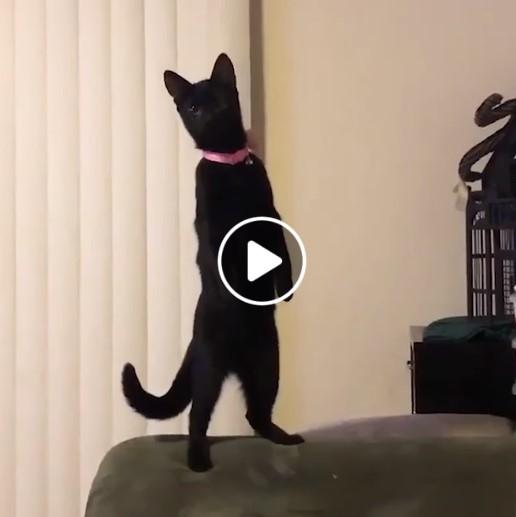 Juokingai stovintis katinas