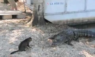 Katė prieš aligatorių. Kas nugalės?