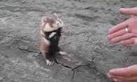 Žiurkėnas Chuck Norris