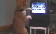 Katė žiūri boksą :D (1 video)