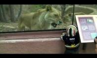 Alkana liūtė zoologijos sode, bando suryti kūdikį