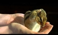 Sulėtinto vaizdo žiurkėnas