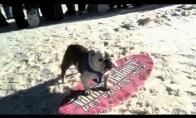 Talentingas šuo