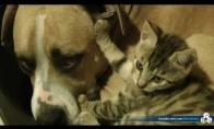 Katinas ir pitbulis