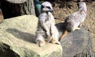 Nepalaužiamoji surikata