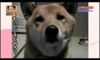 Šuo su garso reguliatoriumi