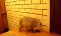 Labai savarankiškas katinas
