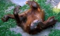 Beždžionės girtuoklės