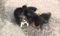 Būrys įsiutusių šunų užpuolė katiną