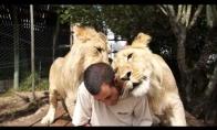 Rytinė dozė liūtų meilės