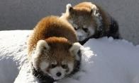 Mažosios pandos tūsina sniege