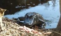 Aligatorius gauna velnių nuo katino