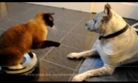 Katinas terorizuoja pitbulį