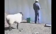 Avis pikčiurna