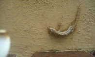 Skruzdėlės siena tempia negyvą driežą