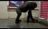 Šokanti gorila zoologijos sode