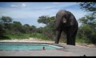 Dramblys įsiveržė į baseino vakarėlį