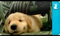 Maži retriverio šuniukai