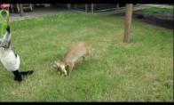 Futbolą mėgstantis elnias