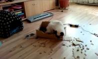 Katinas graužikas