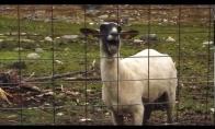 Epiška rėkianti avis