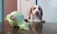 Šuo vagia kopūstą