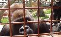 Žiauriai smalsios gorilos