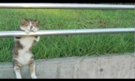 Chillinantis katinas