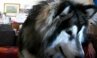 Šuo stebi save per kompą