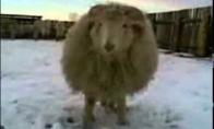 Kovinis avinas