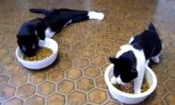 Girtos katės