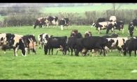 Džiūgaujančios karvės