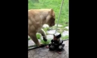 Liūtas bando suėsti kūdikį