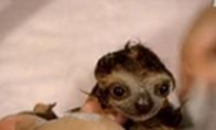 Maudomas mažylis tinginiukas