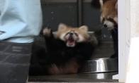Išgasdinta raudonoji panda