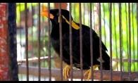 Kalbantis paukštis