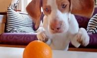Šunėkas prieš apelsiną