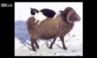 Kaip katinas visur už dyką keliavo