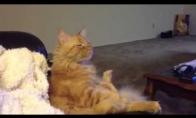 Apsirūkius katė žiūri ledo ritulį