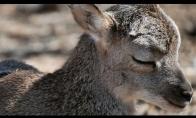 Mažutėlis elniukas