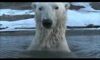 Baltųjų lokių šnipinėjimas