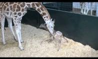 Pirmieji žirafiuko žingsniai