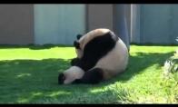 Pandų imtynės