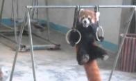 Raudonosios pandos treniruotė