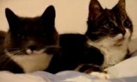 Lėbaujantys katinai