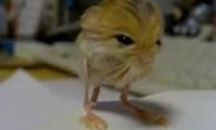 Vatafakerinis žiurkėnas