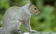 CŽV voverė