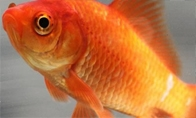 Miela žuvytė