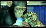 Šimpanzė ir tigriukas